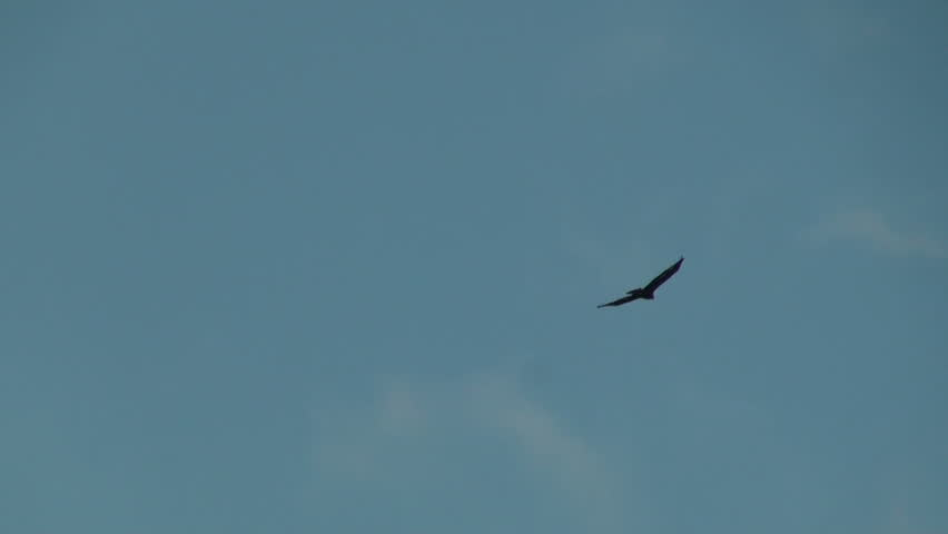 Raptor bird species Golden Eagle (Aquila chrysaetos) round hunting territory.
