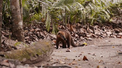 Very curious South American coati (Nasua nasua), also known as ring-tailed coati, stares into the camera before it turns around and runs away.