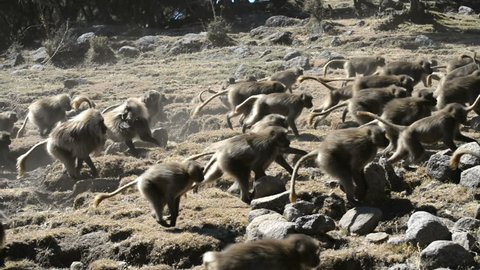 Gelada baboon in the Simien Mountains National Park, Ethiopia