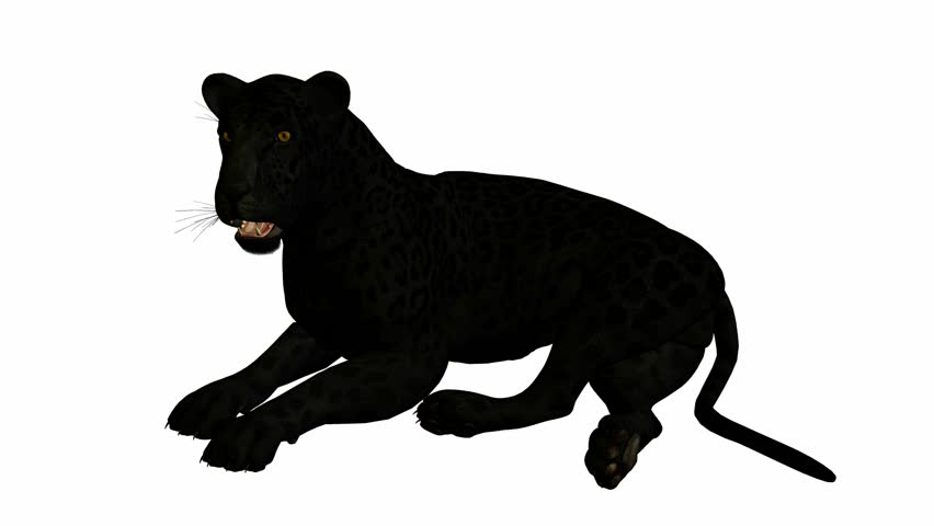 black jaguar lying down on a white background stock footage video rh shutterstock com Black Jaguar Logo black jaguar clipart