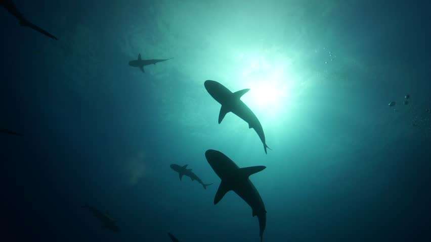 Grey reef sharks in backlight