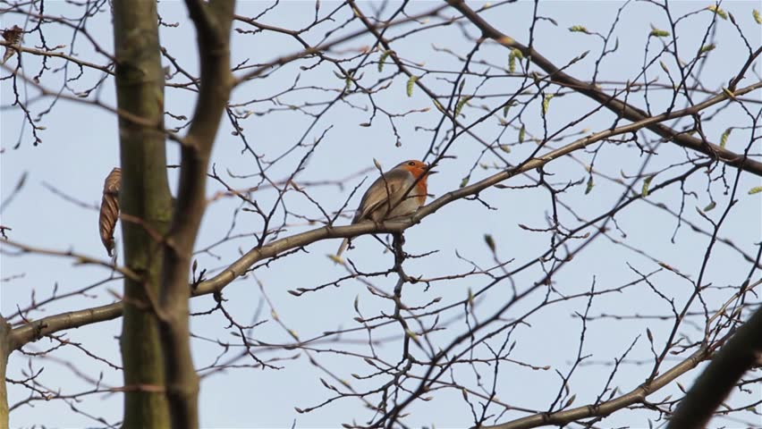 Beautiful Sound Red Robin Song Bird Singing Close Up on Branch - English Wildlife Nature Garden Backgrounds (with audio)  Location: Lichfield, Staffordshire, UK Source: Canon 5D Mkiii Date: 6 Apr 2015