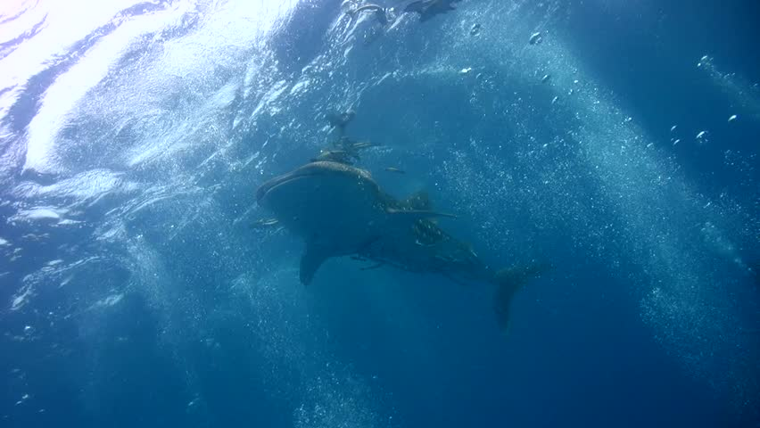 Whale shark (Rhincodon typus) close to the surface #965014