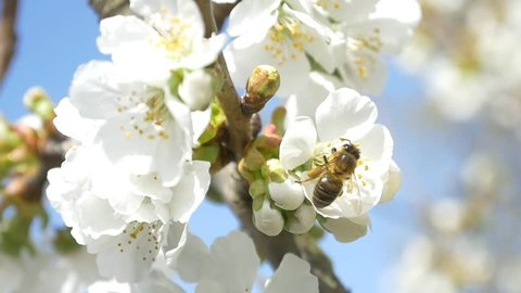 Slow motion bees flying collecting pollen from flowers cherry tree blossom pollinating fruit trees making honey close up honeycomb bee working on sunny day and warm weather with blue sky