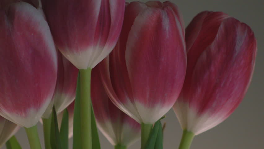 OFFSET CLOSE UP OF RED & PINK TULIPS ROTATING AGAINST A CLEAN BACKGROUND. #9709826