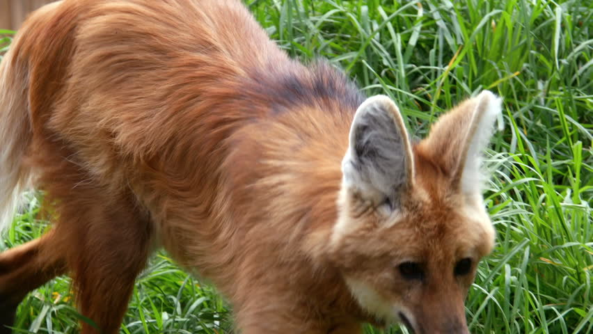 Maned Wolf, South American Wild Dog #9735254