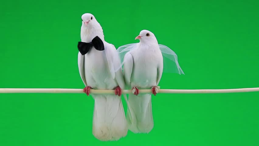 Wedding Pigeons On Green Screen Hd Stock Footage Clip