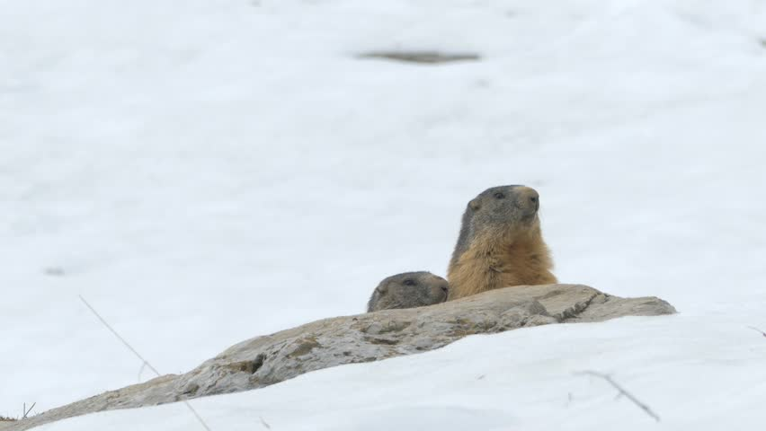 Marmots near their burrow in the spring, with the snowy ground. Native ungraded file Pana cine-like D dynamic gamma.