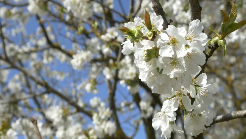 Cherry Blossom Tree Branch 4k Stock Footage Video 100 Royalty Free