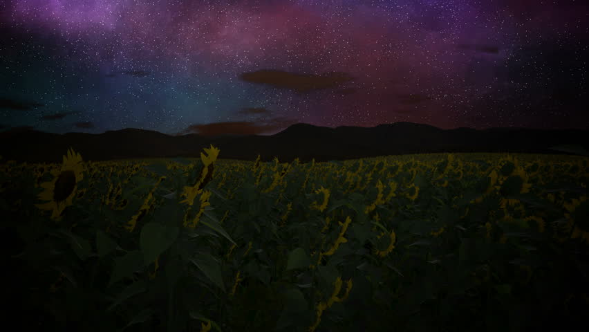 Timelapse of a sunflower field following sun. 4k, UHD
