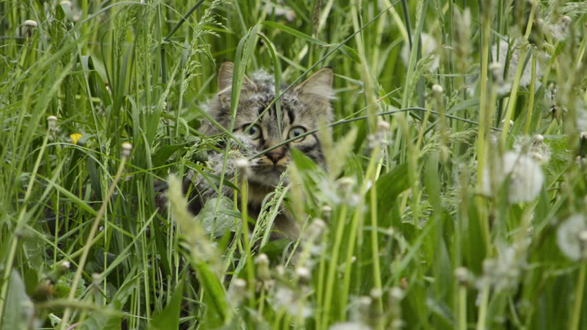 Cat in grass | Shutterstock HD Video #9938774