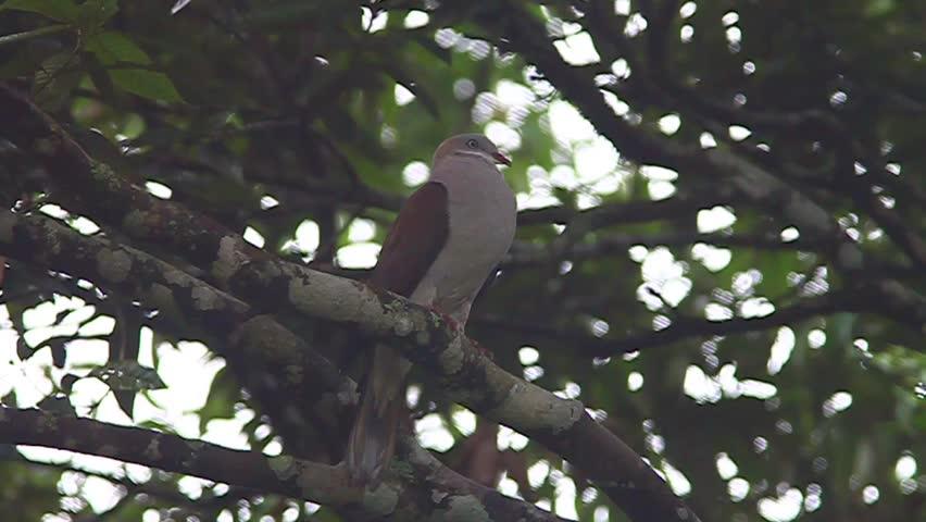 Rock Pigeon | Shutterstock HD Video #9950444