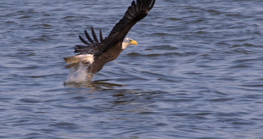 Beautiful shot of Bald eagle swooping down and catching a fish in his talons from the blue water in 240 fps slow motion. #9958664