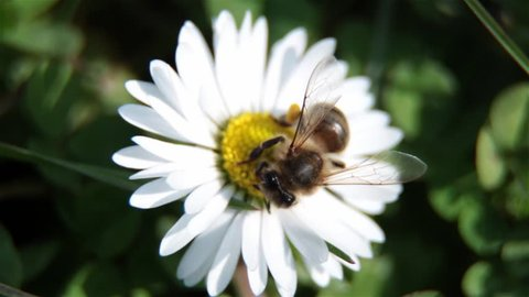 Close Up Of Bee On The Daisy Flower, A Bee Collects Nectar In The Daisy Flowers And Fly Away, Bee Pollinating A Flower. Breeze Moves The Petals Of A Flower. Bees Are Flying Insects