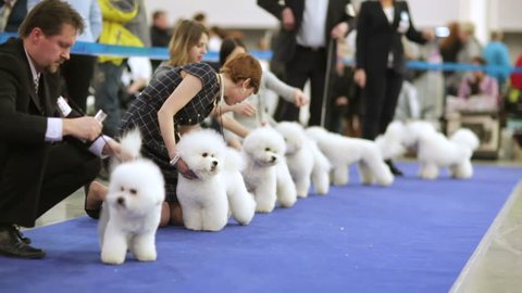 "MOSCOW, RUSSIA - MARCH 21, 2015: Bichon Frise dogs in a row during international dog show ""Eurasia 2015"" in Crocus Expo."
